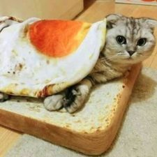Toast cat fried egg